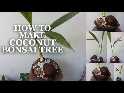How To Make Coconut Bonsai Tree | Coconut Bonsai Growing Tips | How to Make Coco Bonsai | GREENPLANT