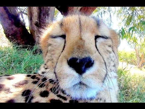 15 Minute Cheetah Cuddling & Purring Day & Night Relaxing ASMR Sound | Anatomy of Big Cats Purr