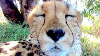 15 Minute Cheetah CuddlingPurring DayNight Relaxing ASMR Sound Anatomy of Big Cats Purr