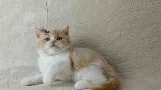 Шотландские котята из домашнего питомника.Шотландский короткошерстный котенок.