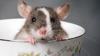 Приколы с животными: Мышь vs Орех // Прикол..)))....