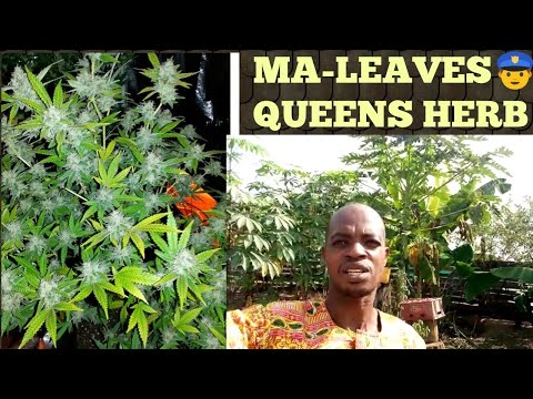 POWERFUL UPDATES ON GROWING THE MA-RIJUANA LEAVES. **IT IS LEGAL IN GHANA NOW** GROW IT FOR HEALING