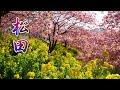 KANAGAWA【Cherry blossoms】Matsuda Cherry Blossom Festival 2020  まつだ桜まつり #河津桜 #4K