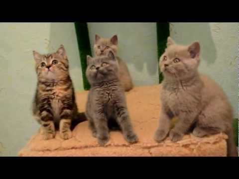 Питомник шотландских и британских кошек Cats Perfection