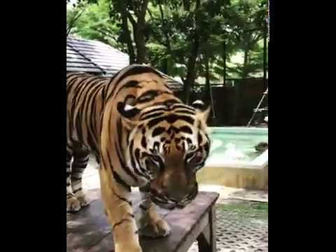BENGAL TIGER CAN BE A HOME CAT TOO