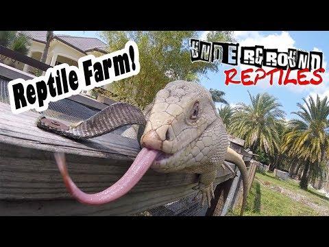 Visiting the UNDERGROUND REPTILES FARM! Albino Tegus, Giant Tortoises and Iguanas!