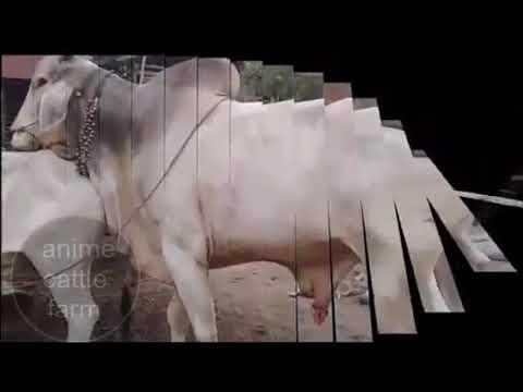 Anime Cattle Farm Video No 3 Anime Hentai { Sex +18}