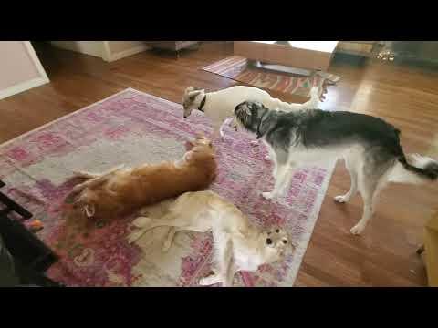 Silken Windhound gang