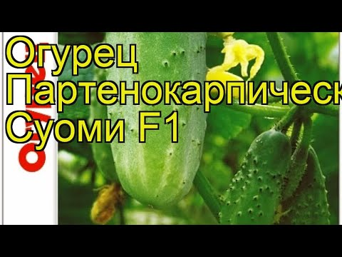 Огурец партенокарпический Суоми F1. Краткий обзор, описание характеристик cucumis sativus Suomi F1