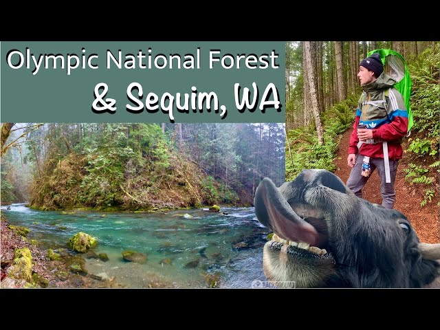 SHIA goes to the OLYMPIC PENINSULA! NO.4. Sequim,WA. Farm animals! Hike in Olympic National Forest!
