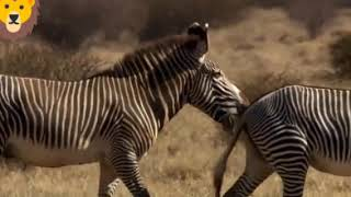 Zebra çiftleşmesi izle abone ol
