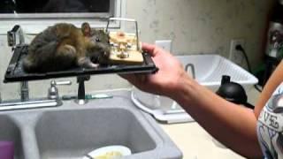 Big Rat in Glue Trap