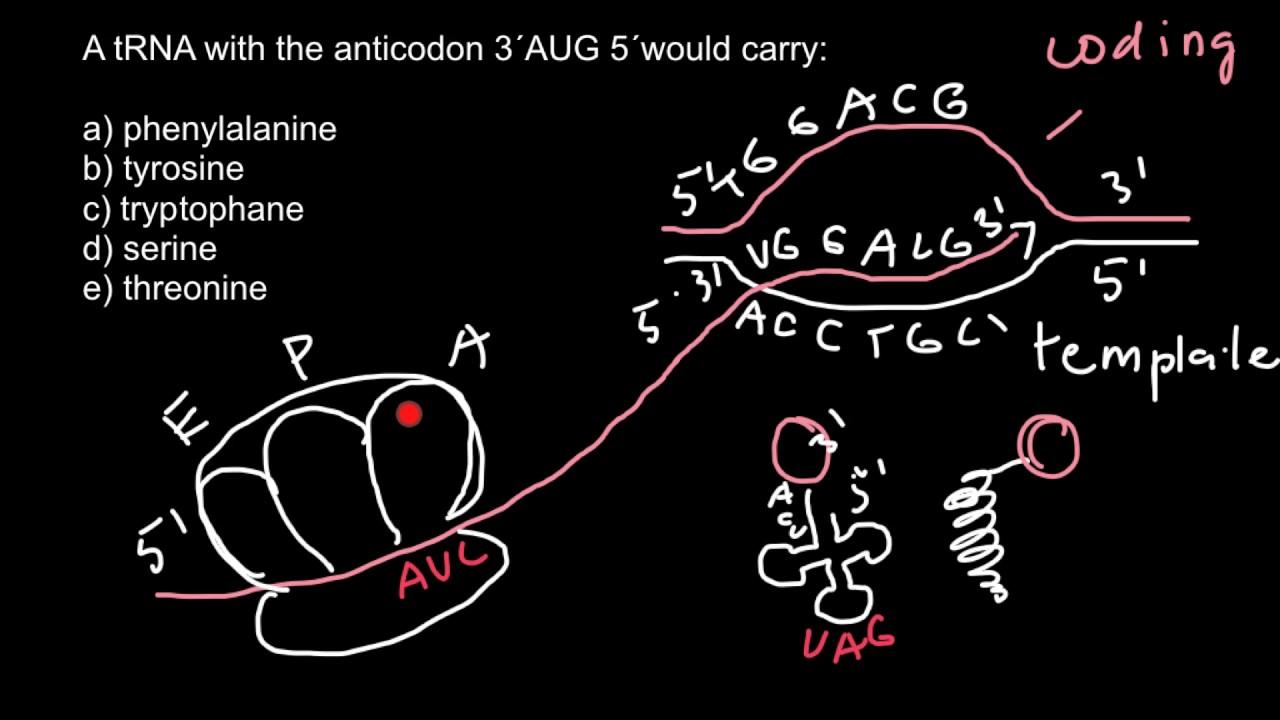 Codon Vs Anticodon