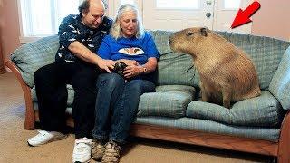 Самые большие грызуны в мире! Это вам не мышки!