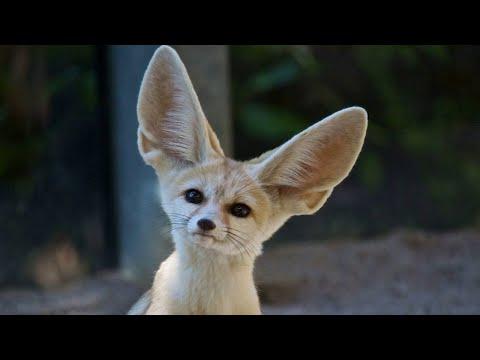 Ушастые животные... Животные с самыми большими ушами!