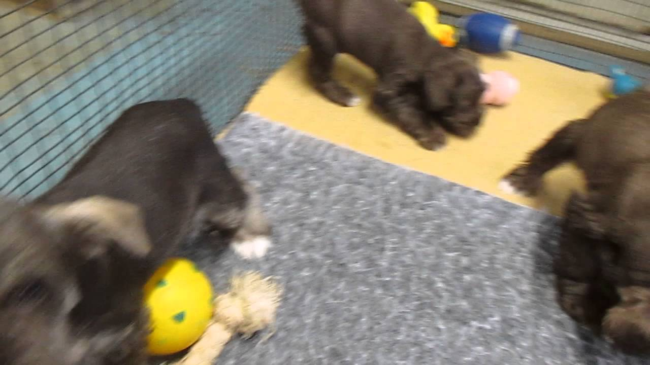 Miniature Schnauzer Puppies For Sale In Pa Youtube