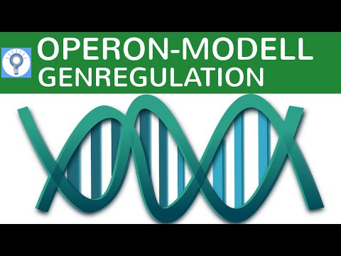 Operon Modell - Genregulation bei Prokaryoten einfach erklärt ...