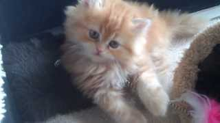 Perser Katzen Familie in Minden