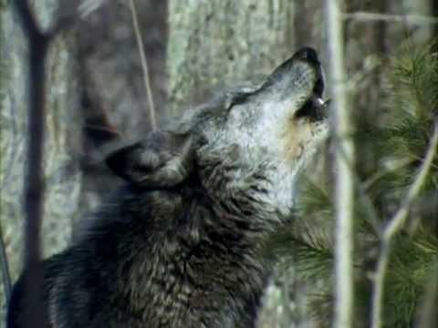 Клип Волк - Волчья доля