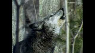 Волк - Волчья доля