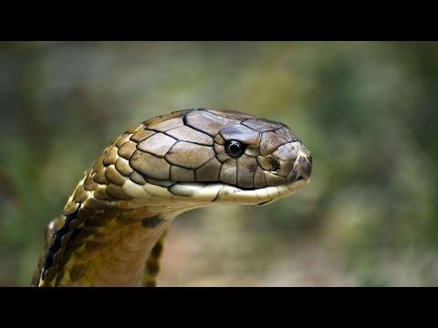 La Cobra Real, el Rey de las Serpientes