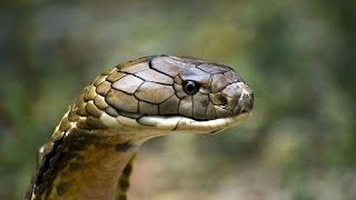 Gambar cover La Cobra Real, el Rey de las Serpientes