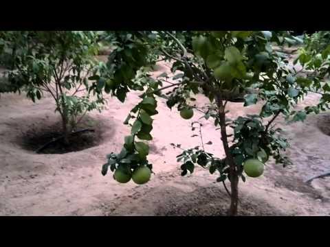اصناف الحمضيات - Gulf Plants