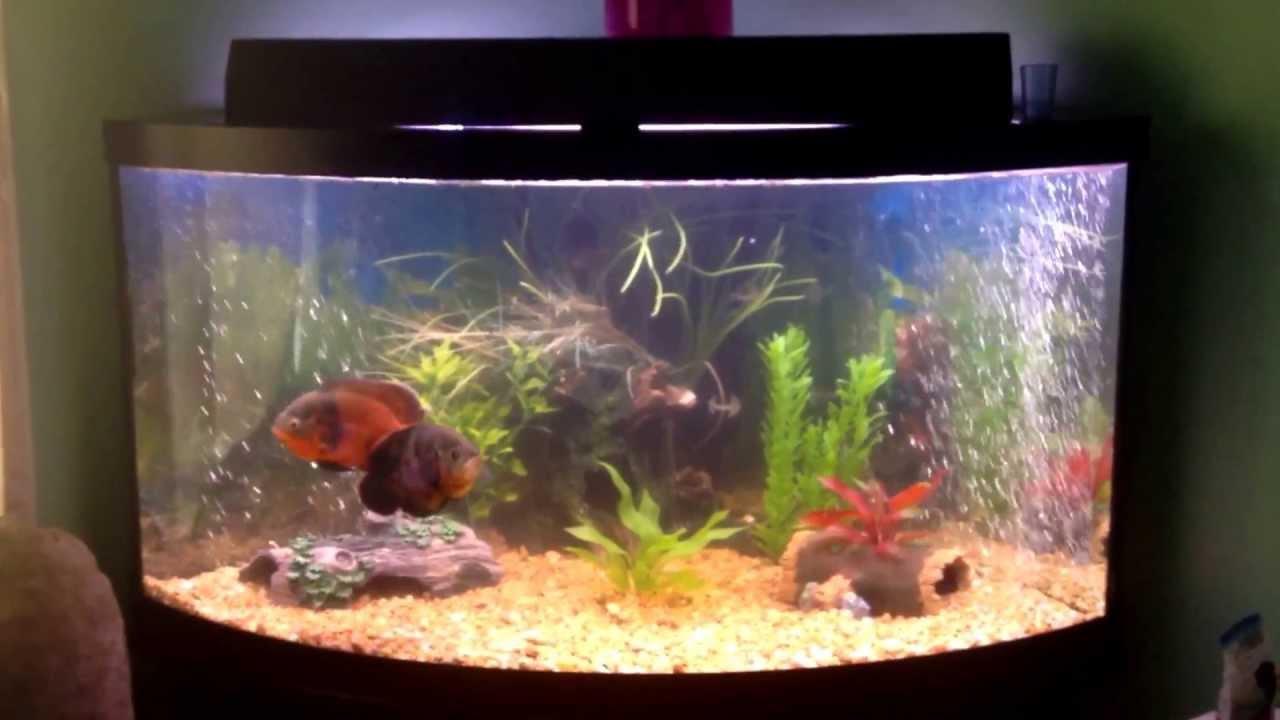 90 Gallon Corner Tank Oscarclown Knifefish Convict And Fry