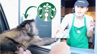 Monkey Visits Starbucks Drive Thru For a Treat!