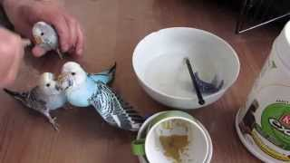 Hand feeding Baby Budgies, hand feeding baby parakeets