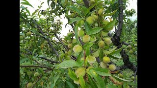 Morning Visit to Peach Farm / Garden in Anbar Swabi Near University of Swabi Khyber Pakhtunkhwa