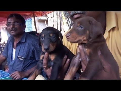 Energetic  Obedient  Sibling Doberman In Galiff Street l  Happy Customer With Doberman Puppy