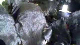 Yavru 9 Rottweiler