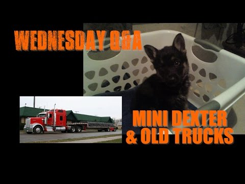 Wednesday Q&A EP3   Mini Dexter & Old Trucks