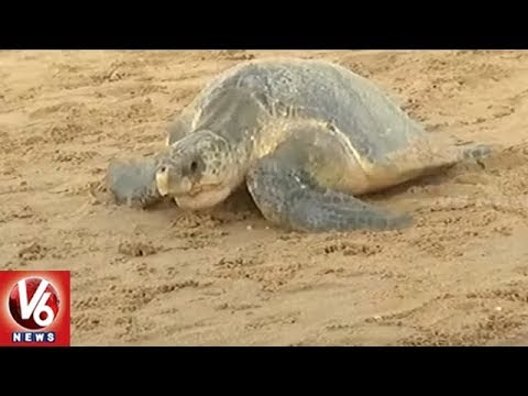 Olive Ridley Sea Turtles Arrive At Odisha's Ganjam District Coast | V6 News