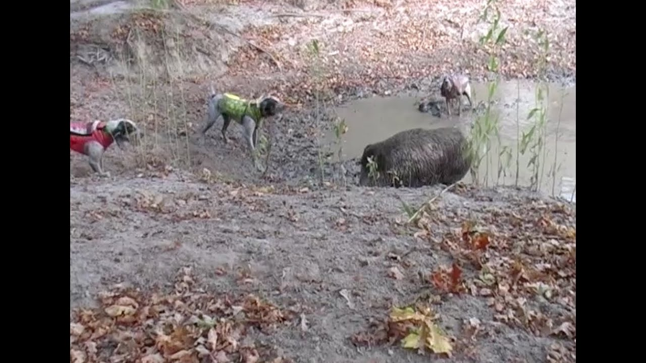 Wild Boar Driven Hunt- dogs attacking wild boar