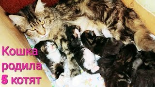Кошка родила 5 котят ВЛОГ Как мы принимали роды у кошки Котята мейн-кун