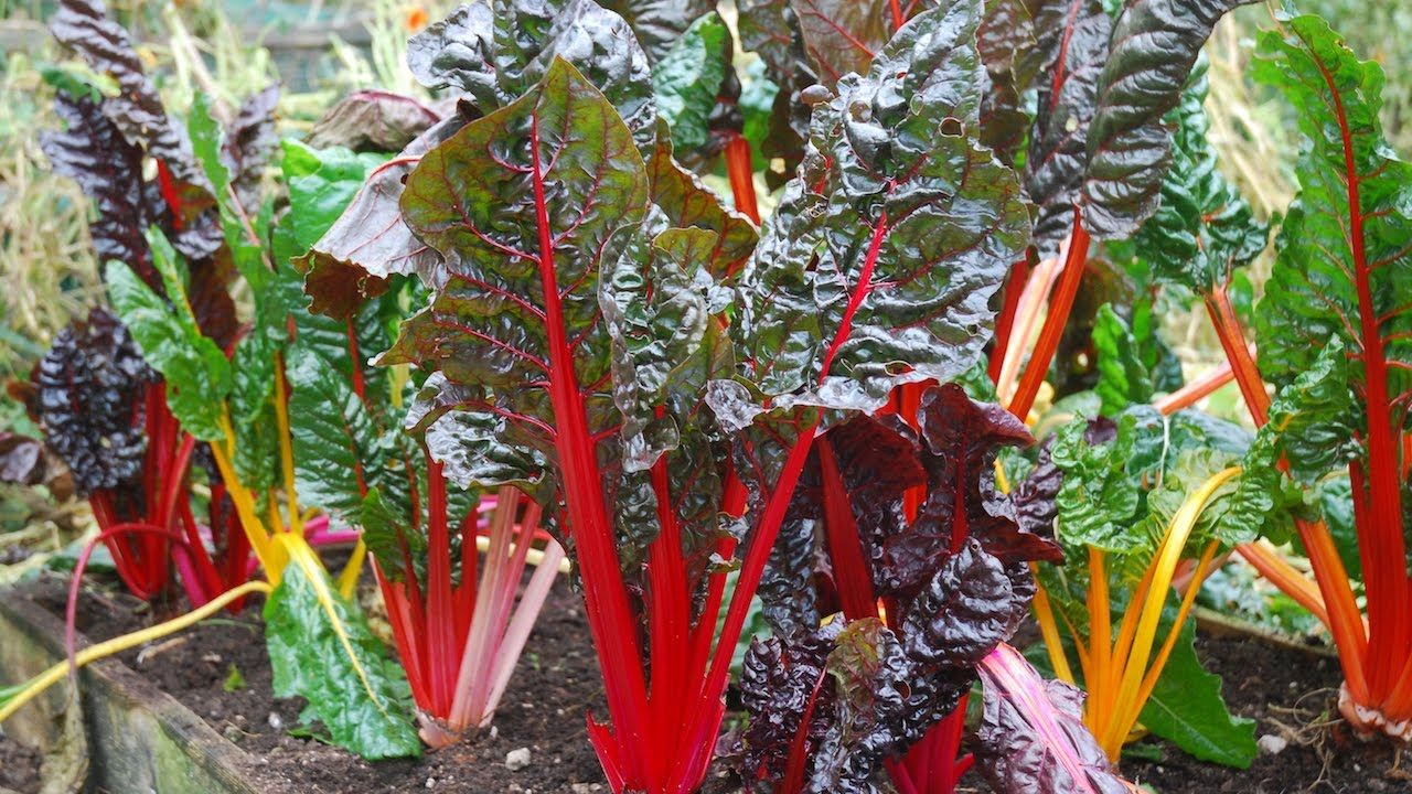 How To Grow Swiss Chard Youtube