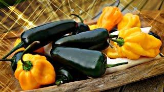 Hot Sauce Video Recipe - How To Make A Good Hot Sauce!