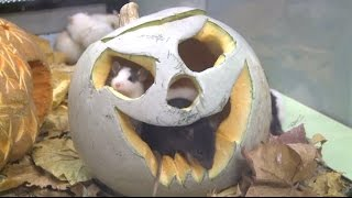 Halloween in the zoo: pumkins up for grabs!