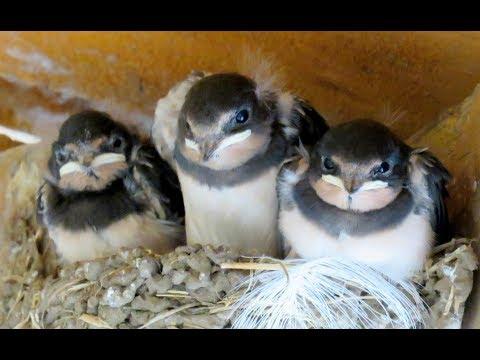 320. Vlaštovka obecná, Hirundo rustica, Barn Swallow, Rauchschwalbe