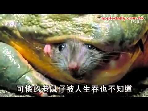 Xem ếch làm thịt chuột