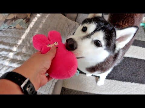 Husky Thinks Toys are Puppies?