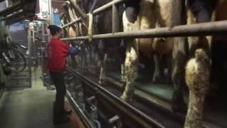 Євро ферма Процес доїння корів дойка як все відбувається