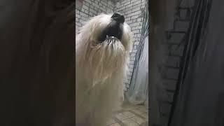 Южнорусская овчарка. Ирбис 2018 год