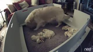 Two Week Old Golden Retriever Puppy Can