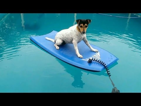Cats and Dogs playing together 'Dog goes surfing'