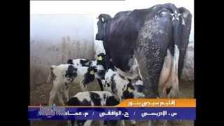 في حالة نادرة بقرة تلد خمسة عجول توائم في المغرب