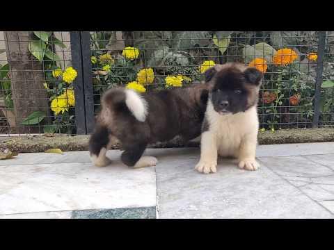 American Akita puppy..9812166600 - Doggyz  World