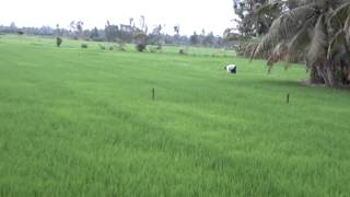 Rice farming on the Mekong Delta